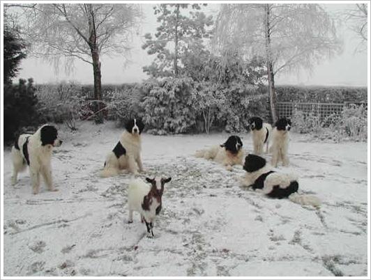 landseer-winter